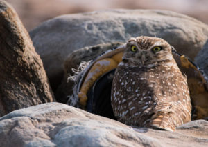 Burrowing owls recycle