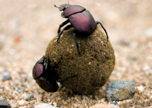 Dung beetles recycle